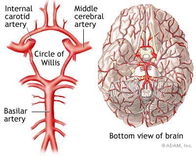 Understanding The Brain Brain Aneurysm Foundation